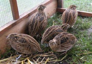 chicks of quail
